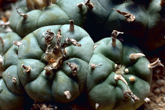 Does the Mormon Church forbid the use of peyote by Mormons of Native American ancestry?