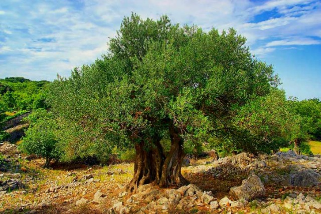 How does the allegory of the olive trees answer Jacob's question regarding the Jews?