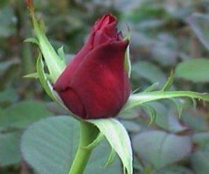 Rose Mormon